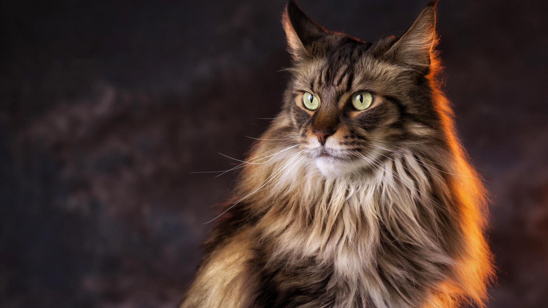 Maine Coon Cat wallpaper for computer