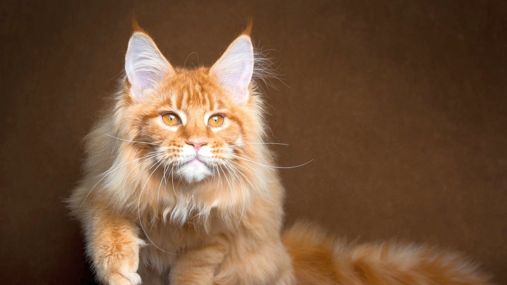 Maine Coon Cat Wallpaper theme