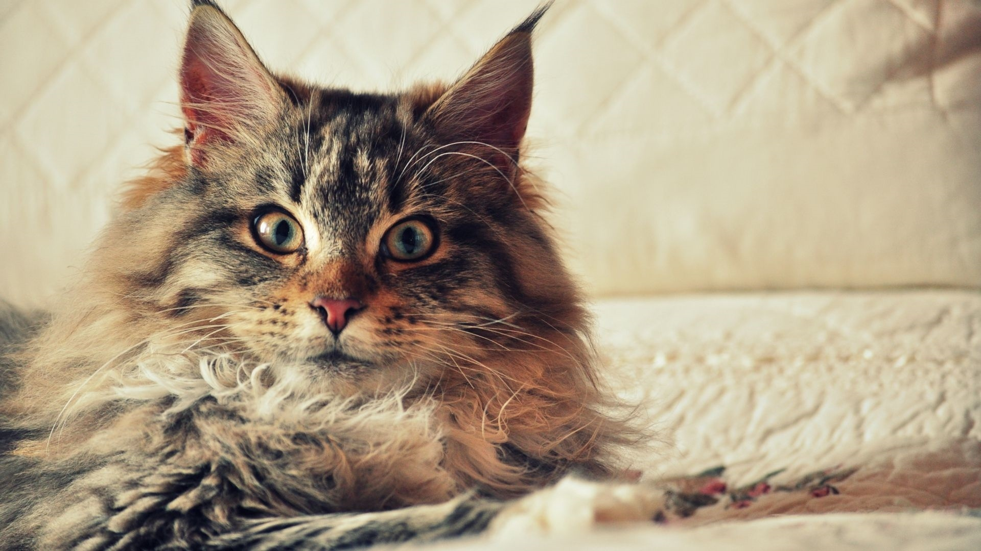 Maine Coon Cat Background