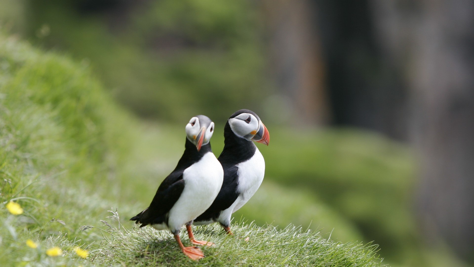 Puffin Picture