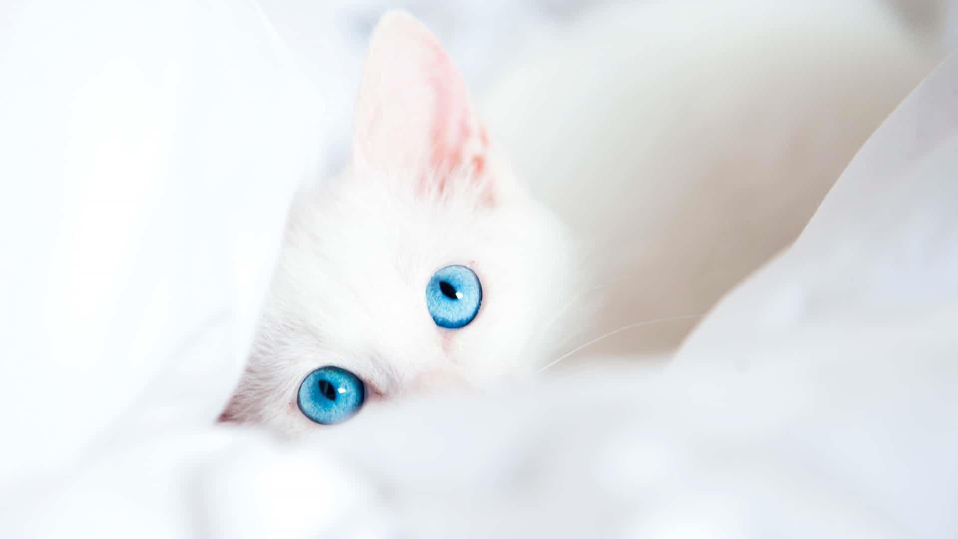 White Cat wallpaper for computer