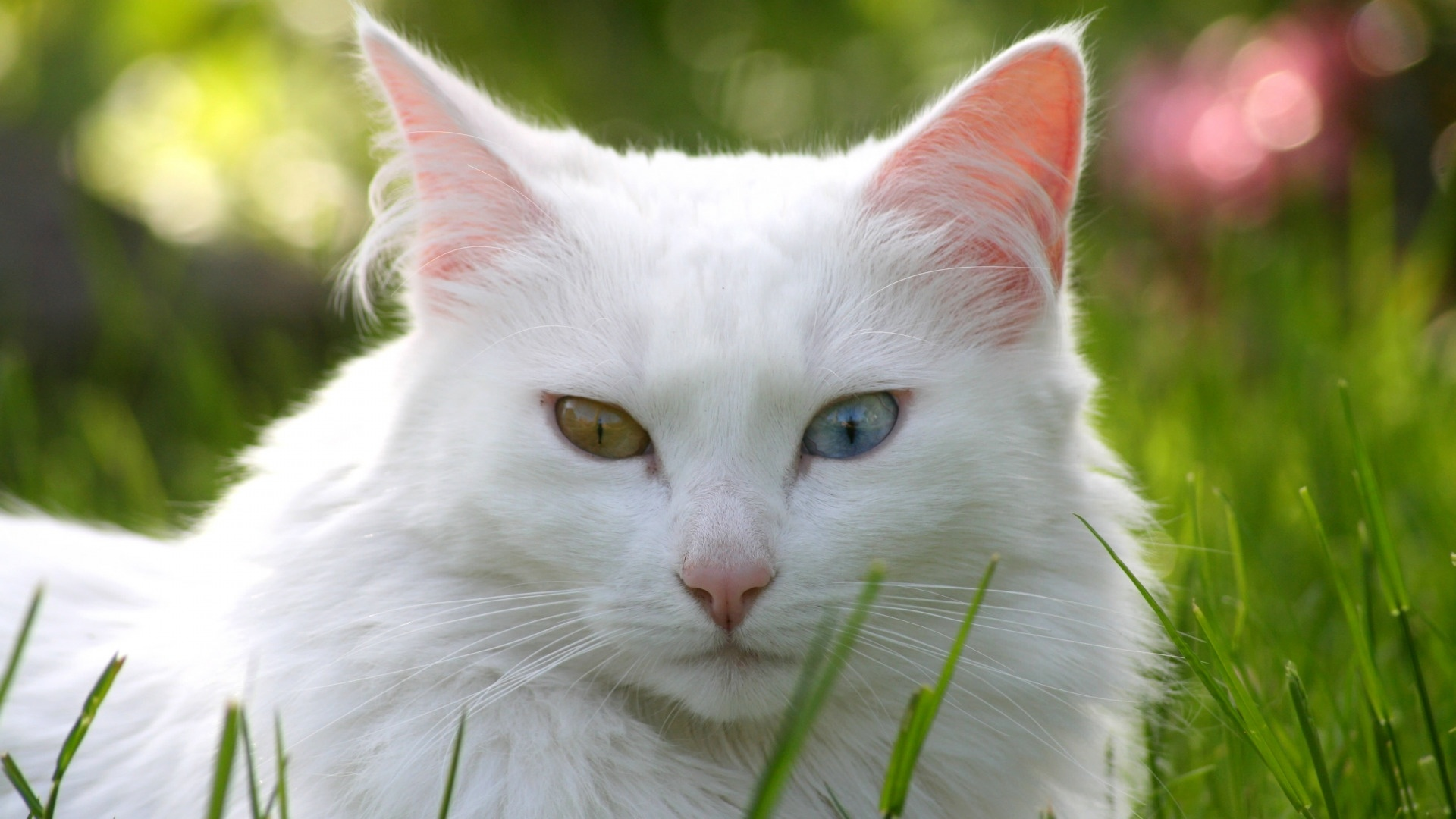 White Cat desktop wallpaper hd