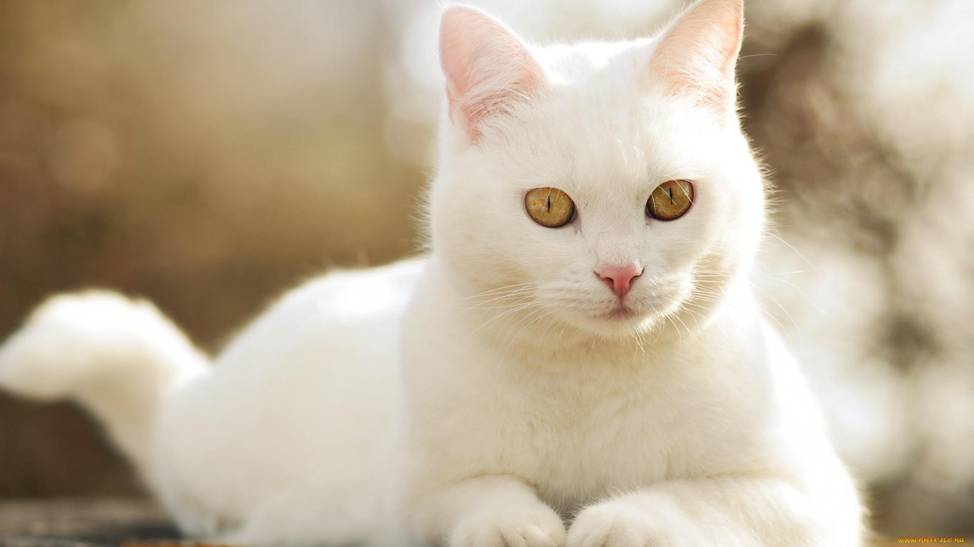 White Cat Picture