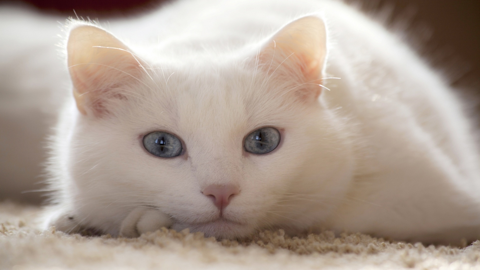White Cat Background
