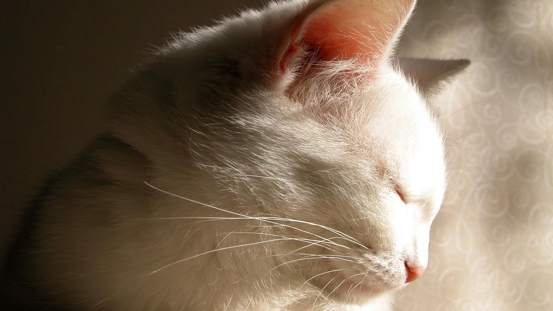 White Cat wallpaper for desktop