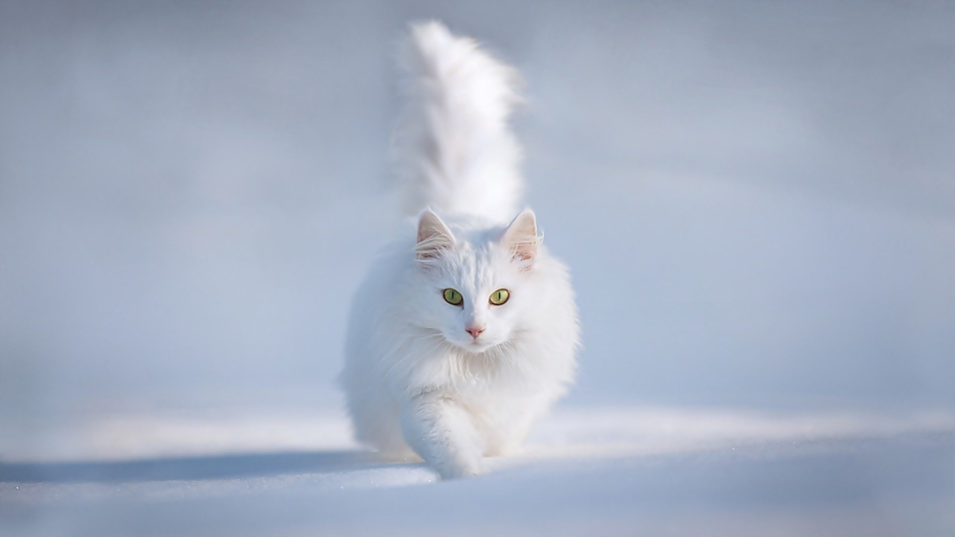 White Cat wallpaper photo hd