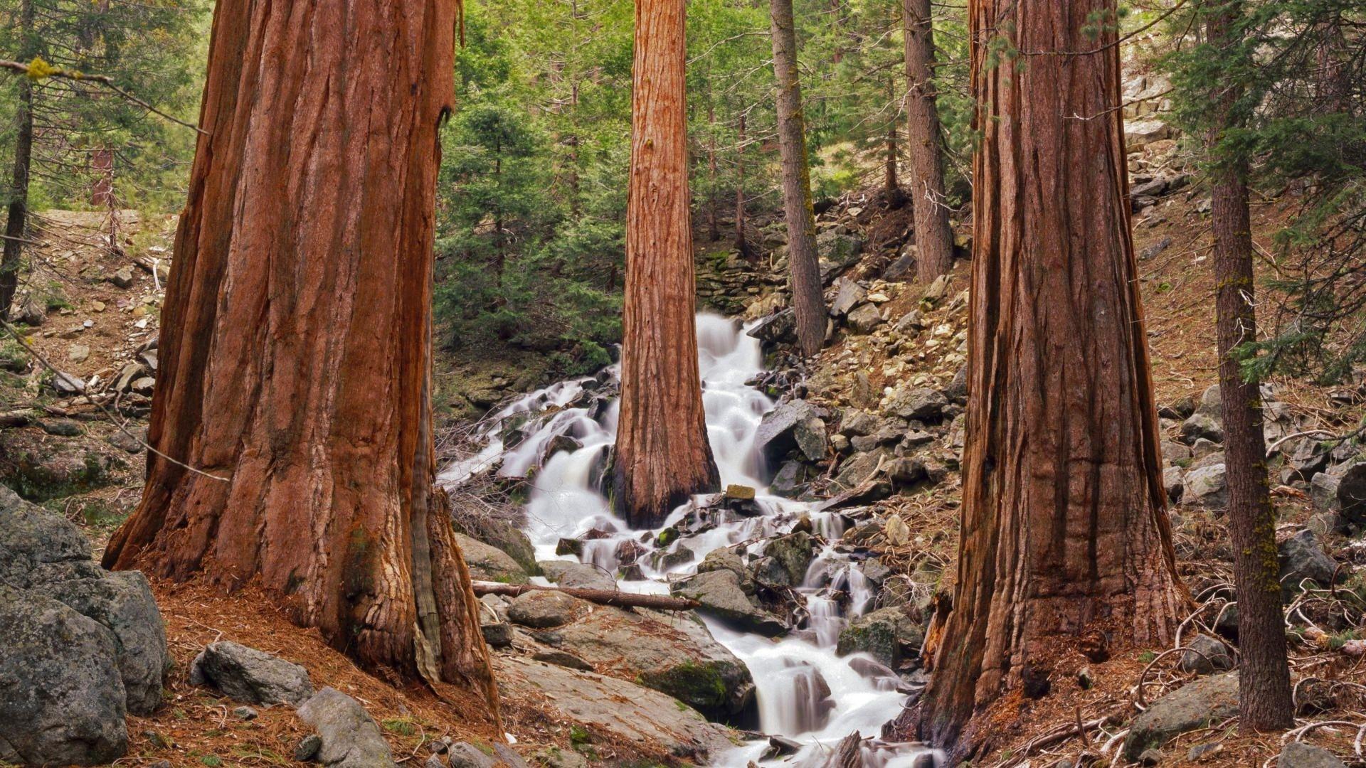 Redwood Trees 1080p wallpaper