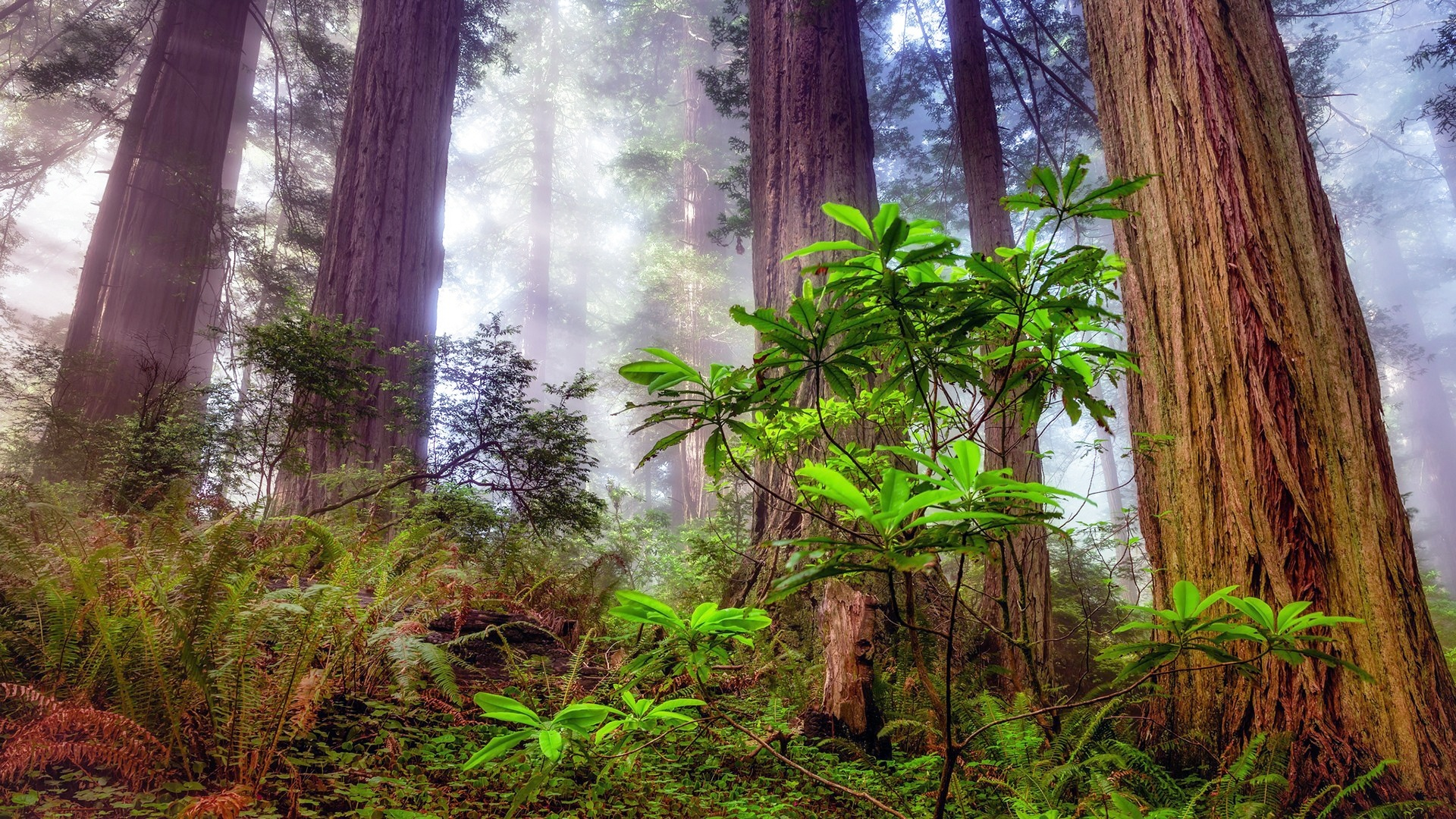 Redwood Trees background picture