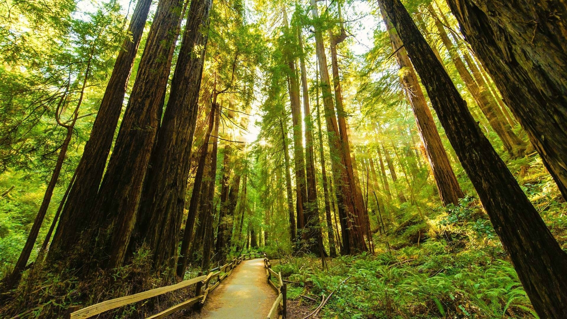 Redwood Trees wallpaper hd