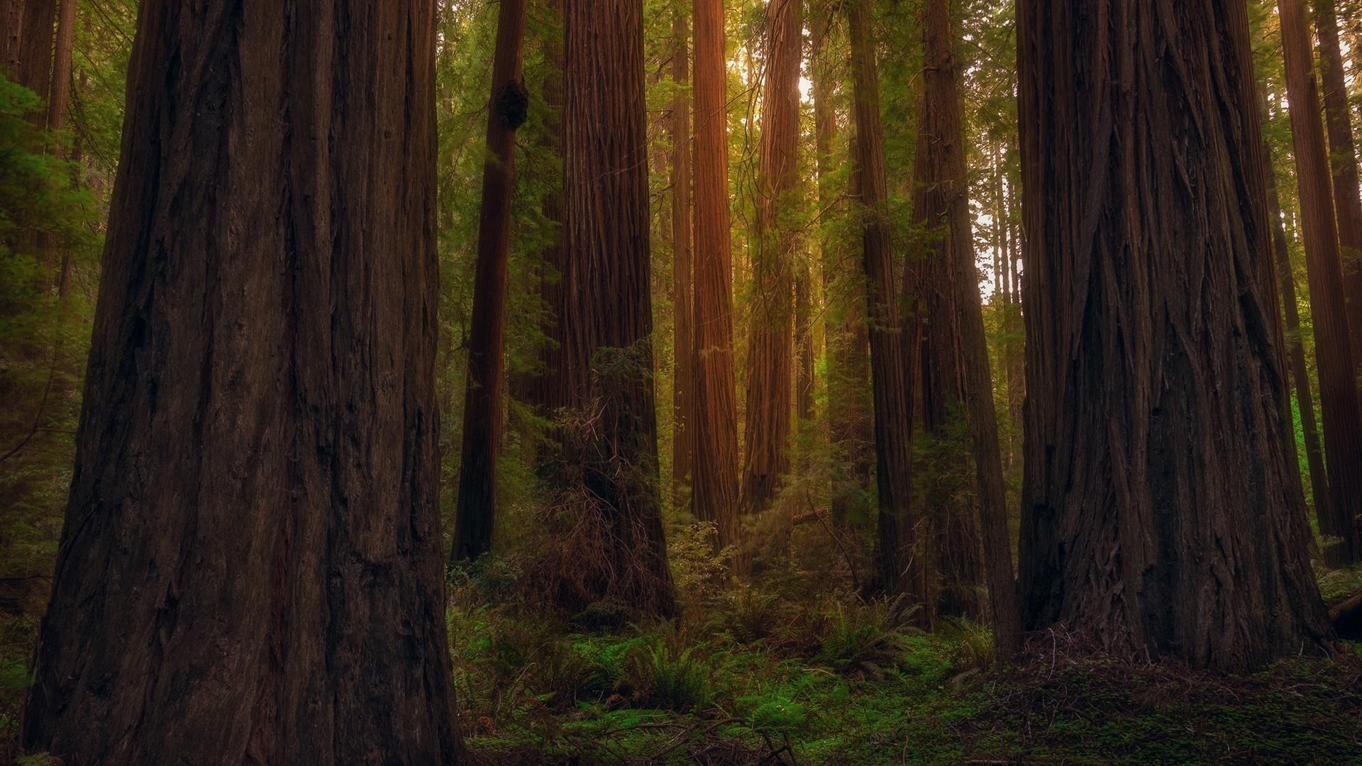 Redwood Trees windows background