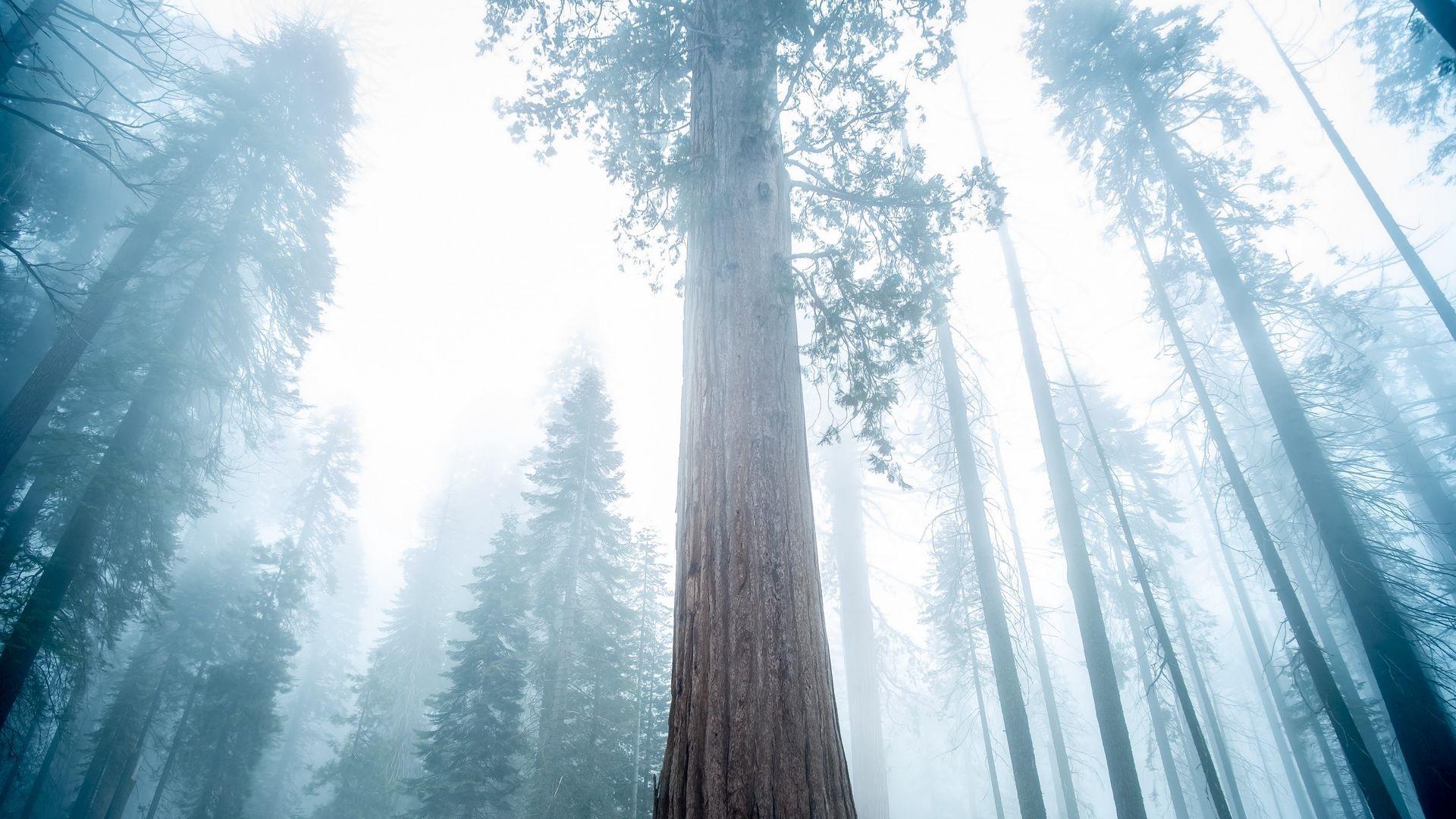 Redwood Trees desktop wallpaper free download