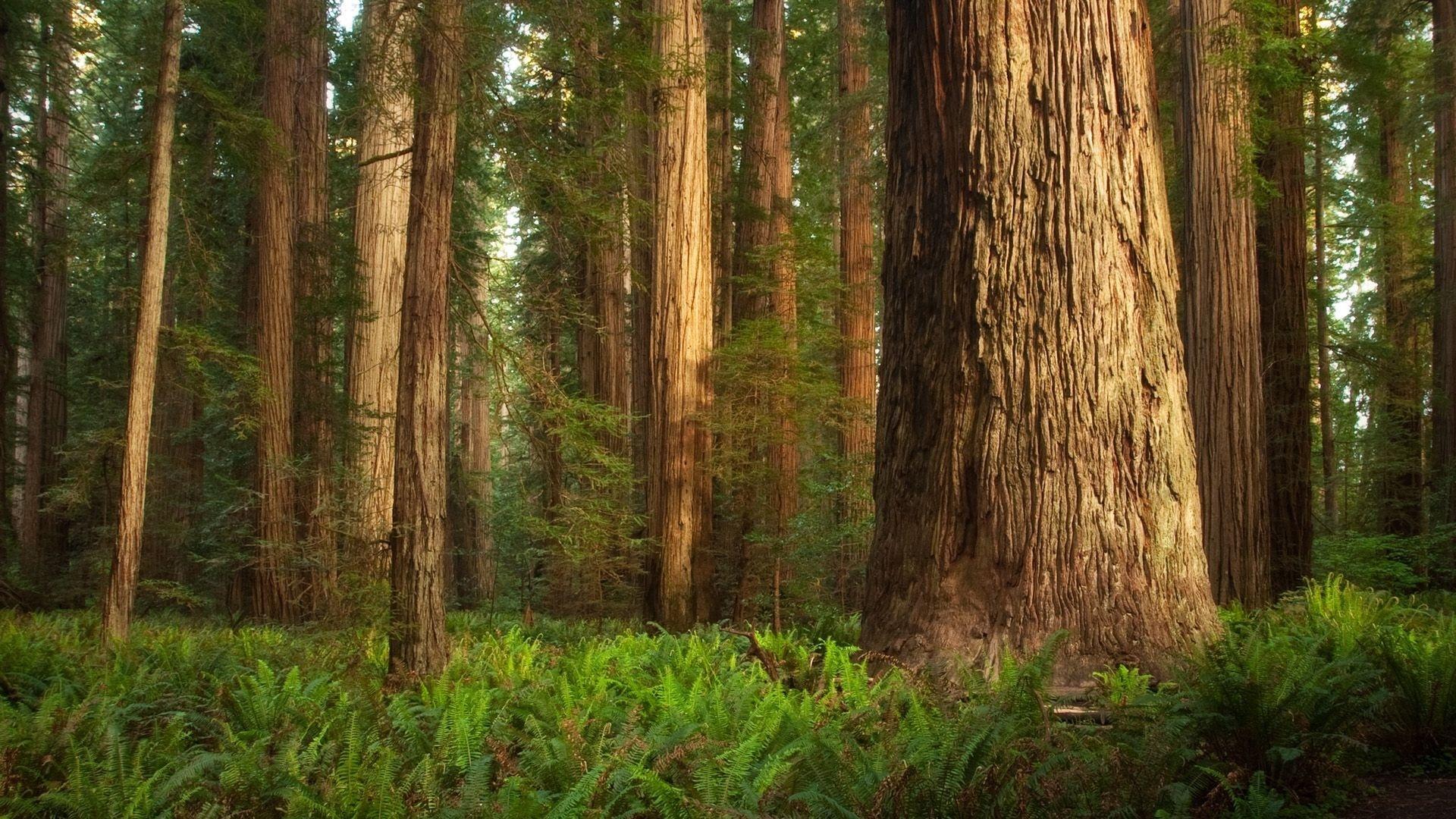 Redwood Trees best wallpaper