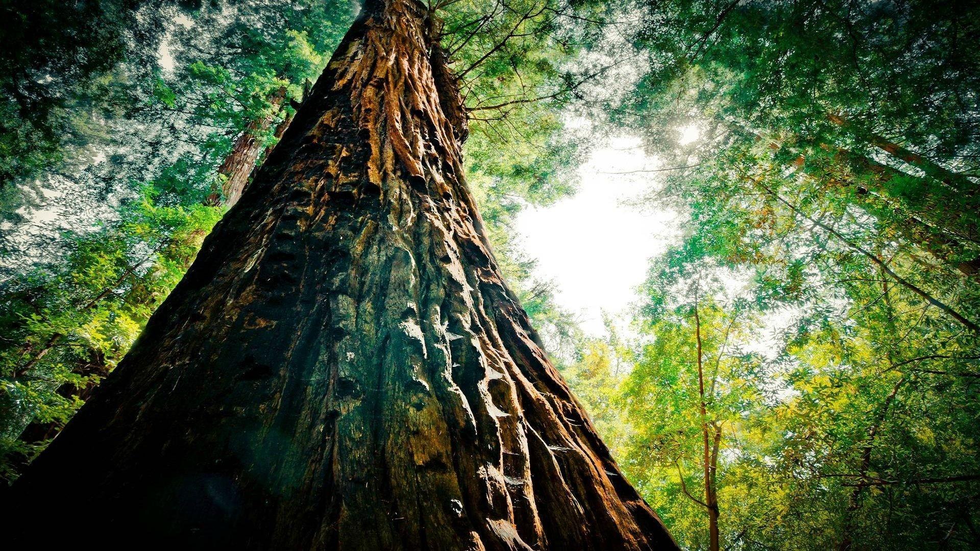 Redwood Trees laptop wallpaper