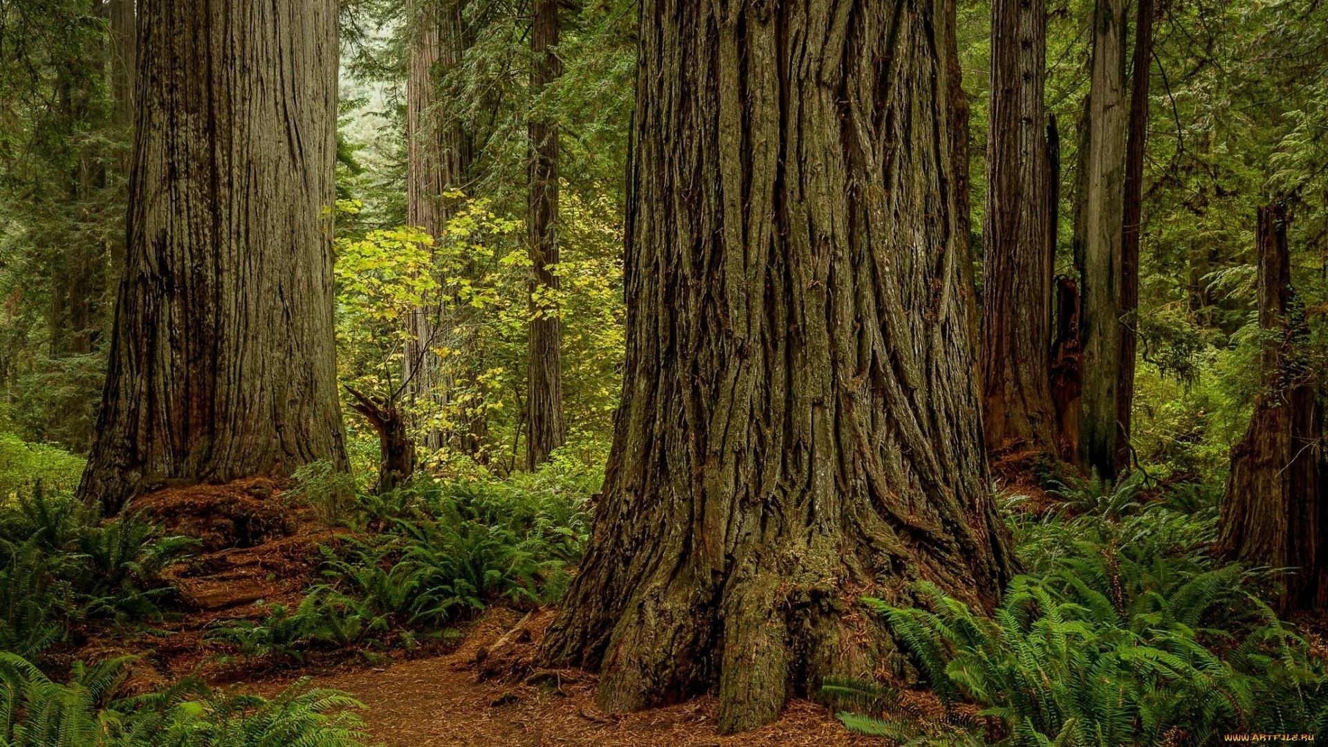 Redwood Trees desktop wallpaper
