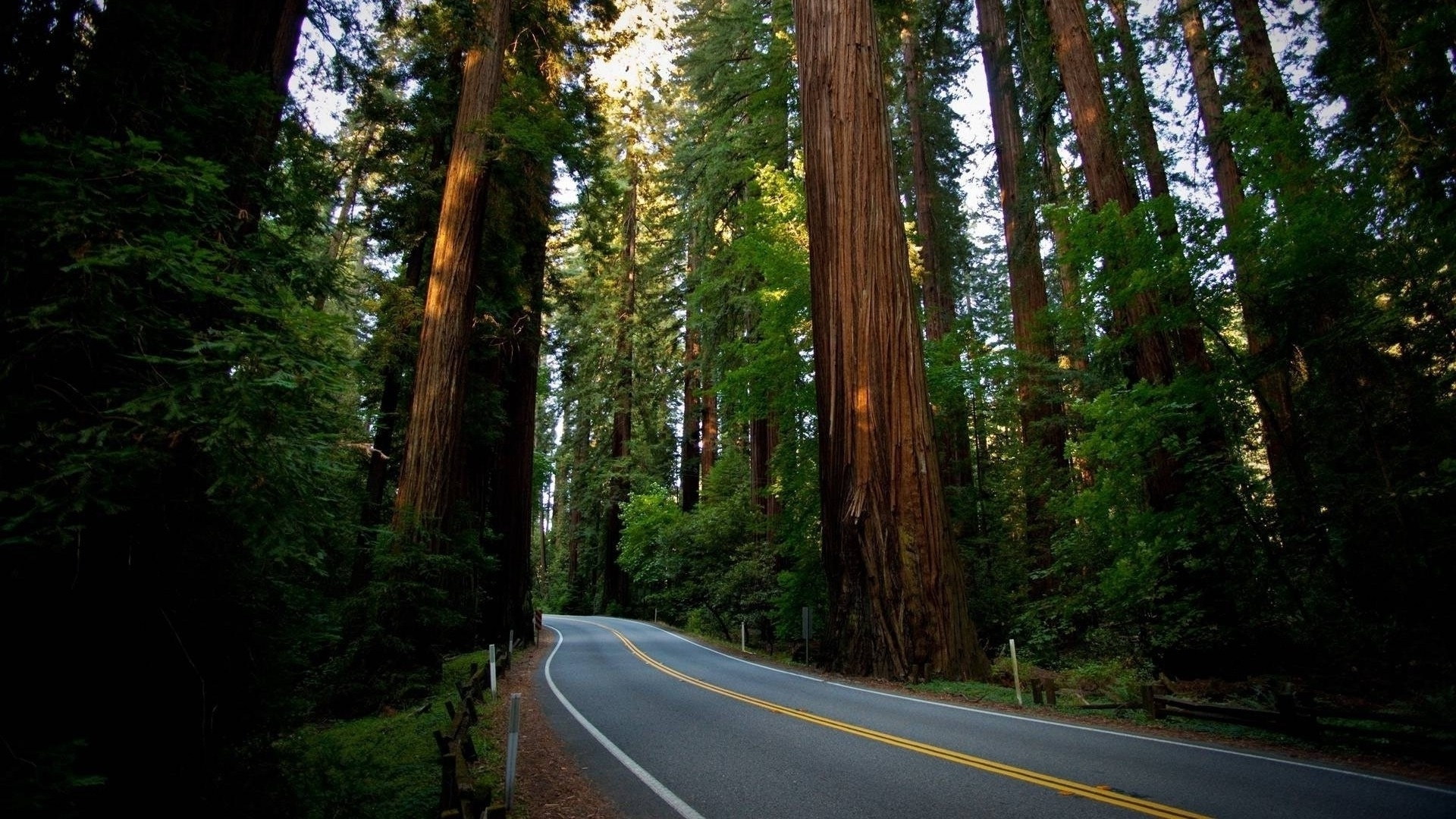 Redwood Trees computer background