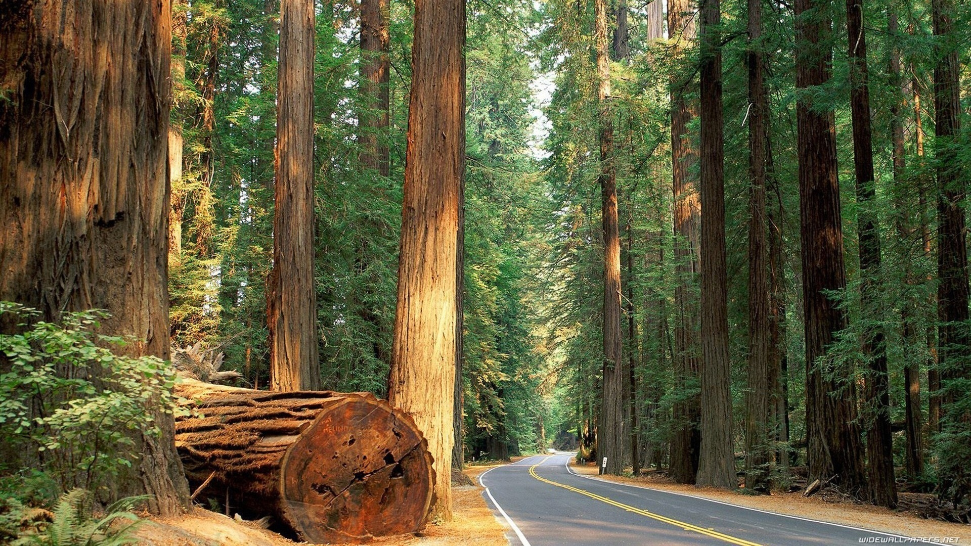 Redwood Trees free pic