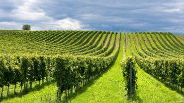 Vineyard free picture