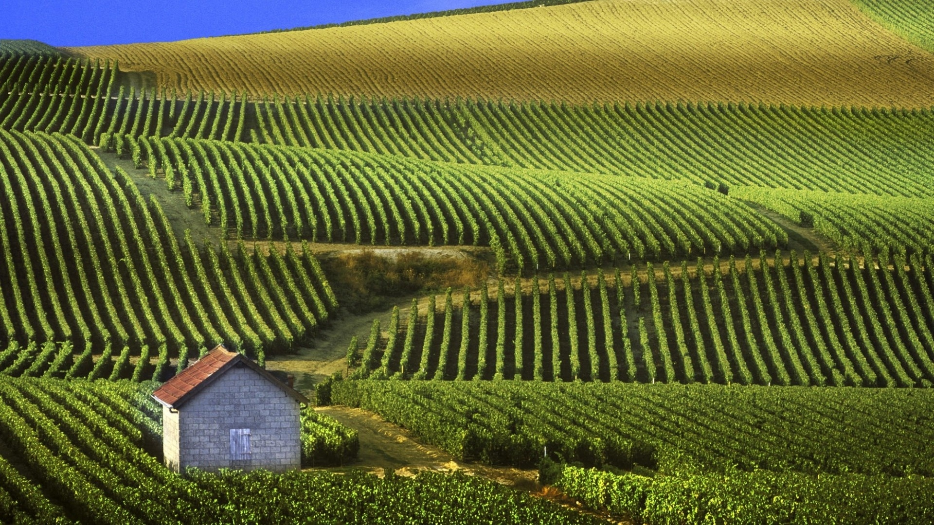 Vineyard cool wallpaper