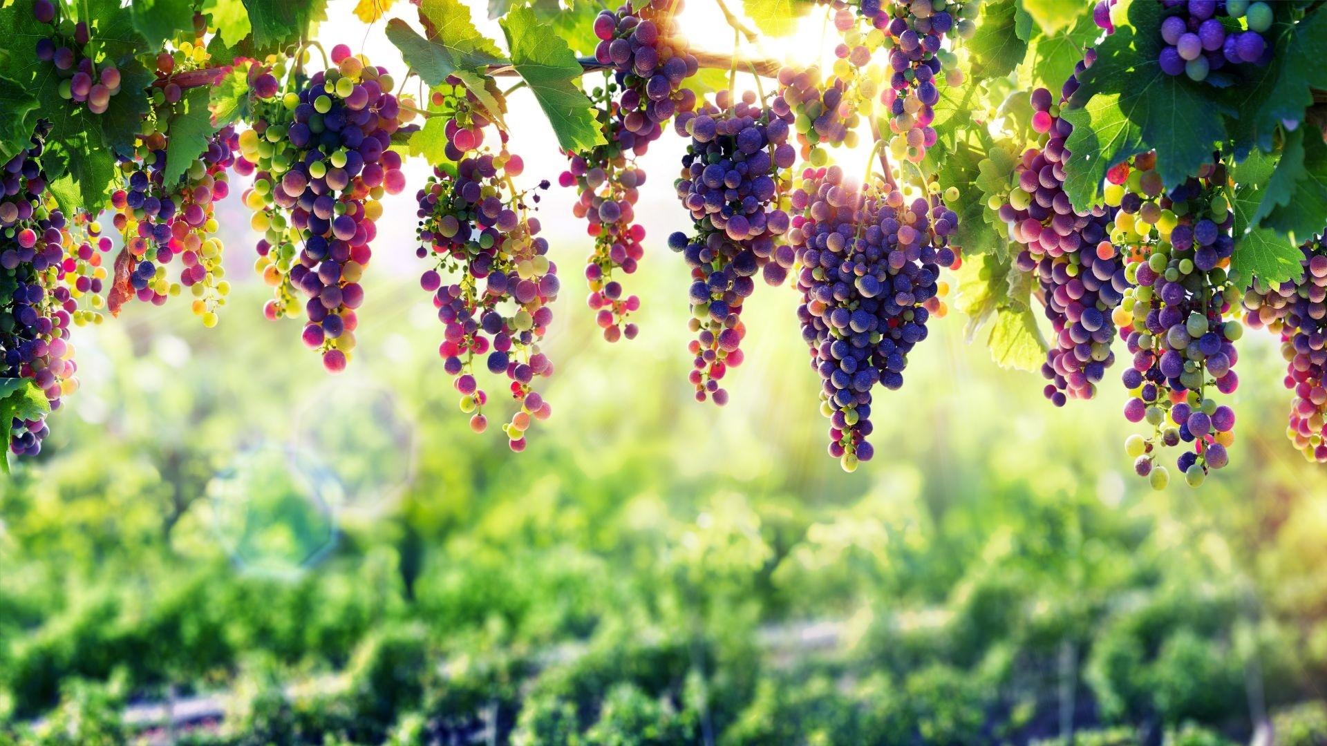 Vineyard desktop background