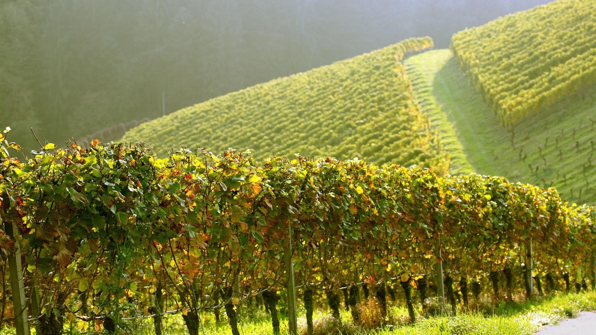 Vineyard free photo