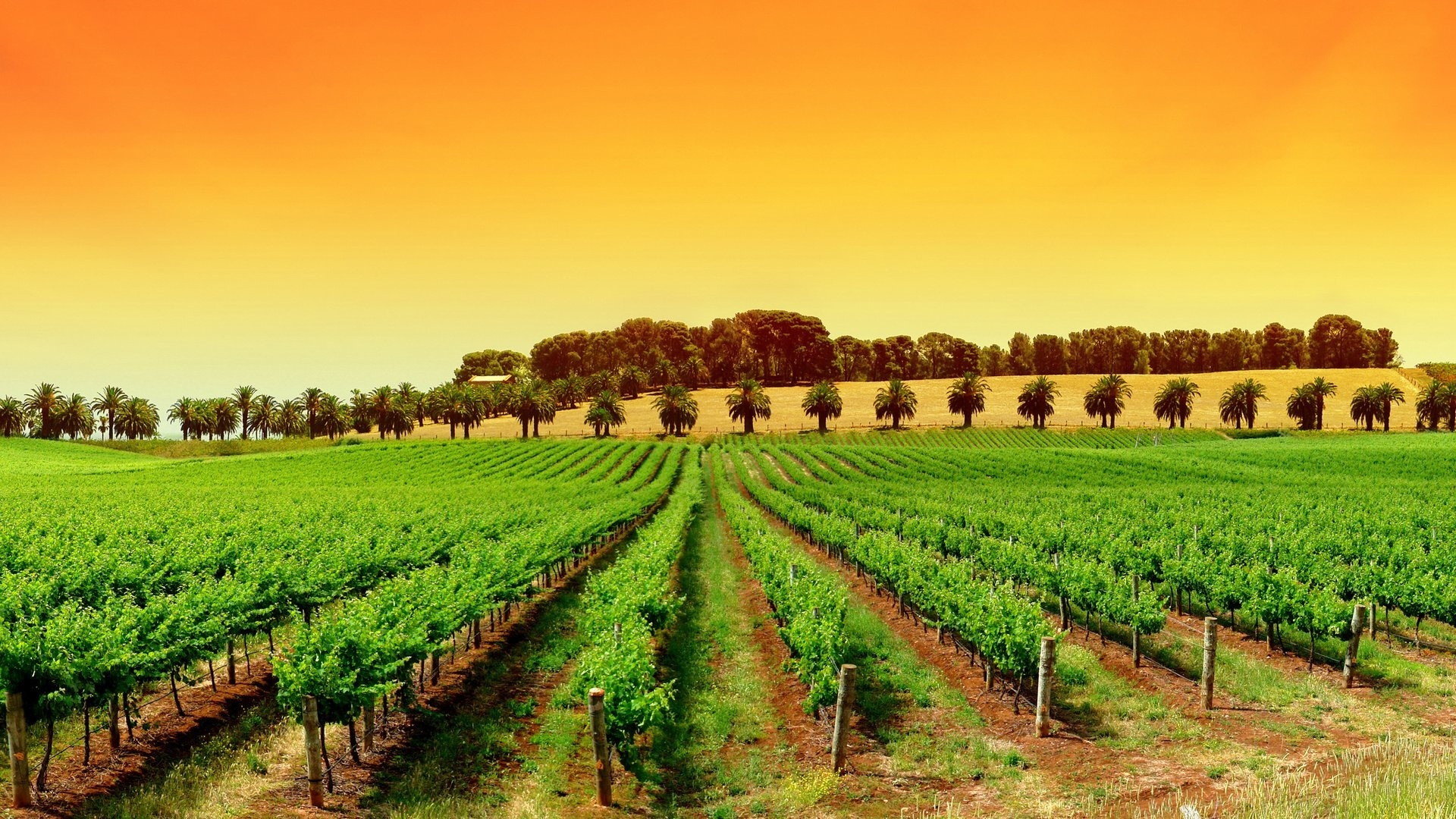 Vineyard background wallpaper