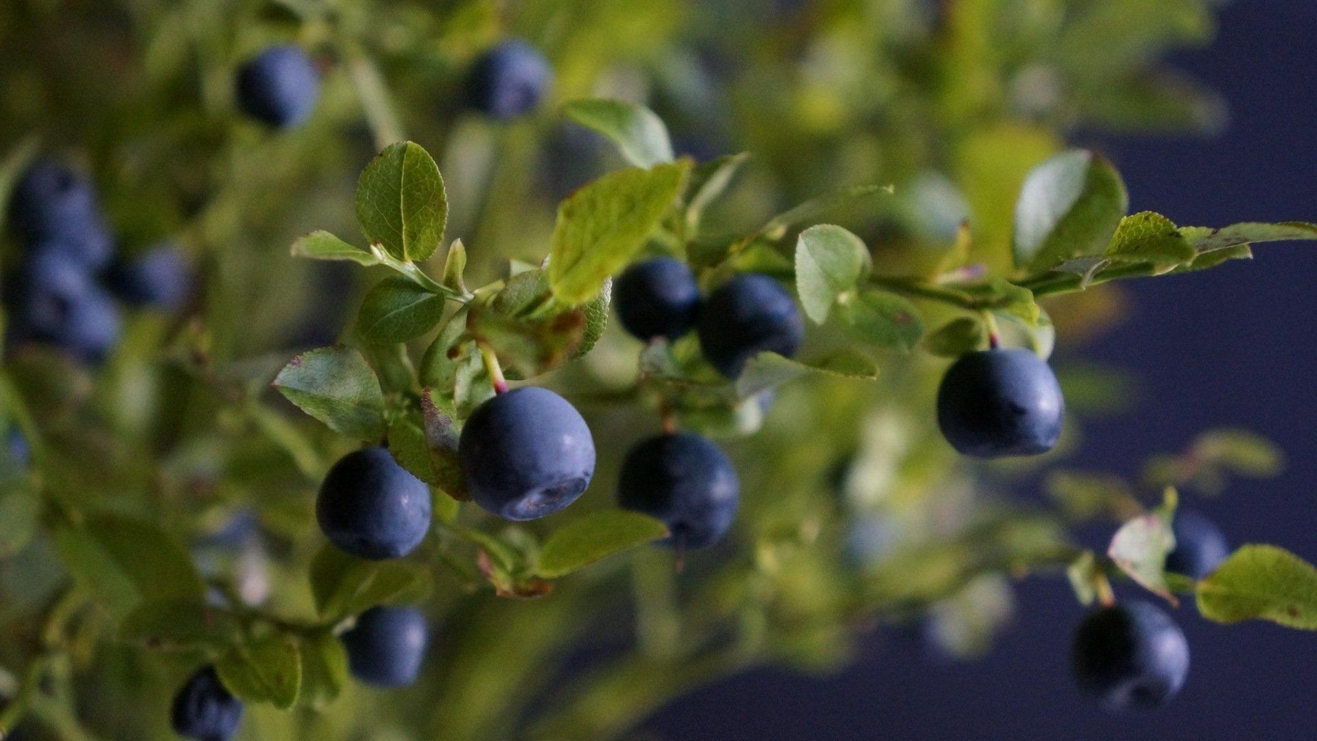 Berries On A Branch best wallpaper