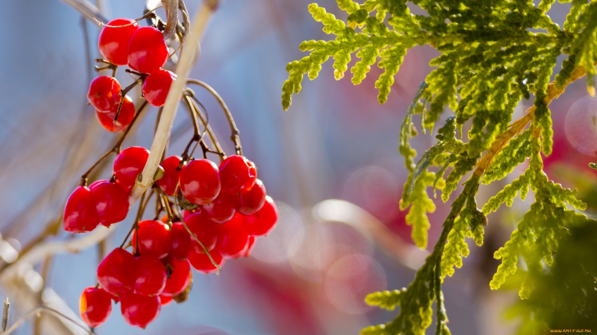 Berries On A Branch background picture