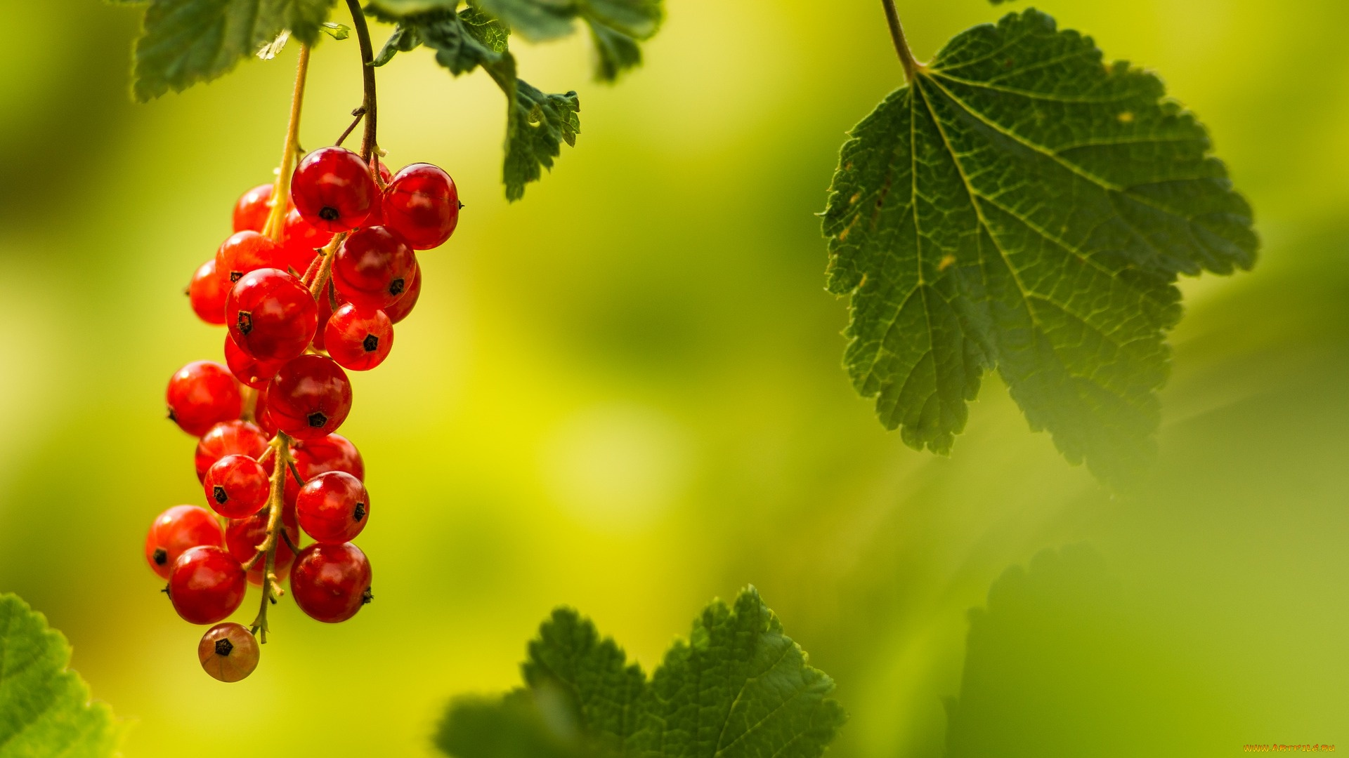 Berries On A Branch windows background
