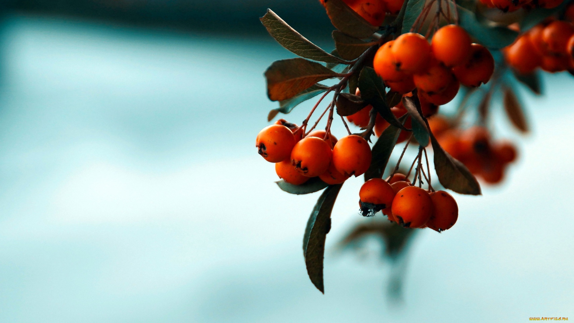 Berries On A Branch pc wallpaper