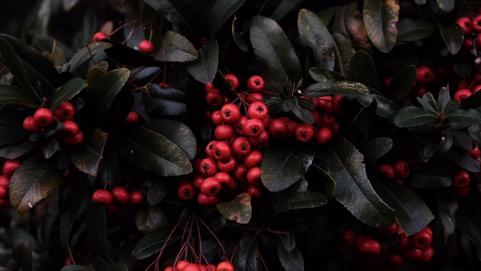 Berries On A Branch desktop wallpaper