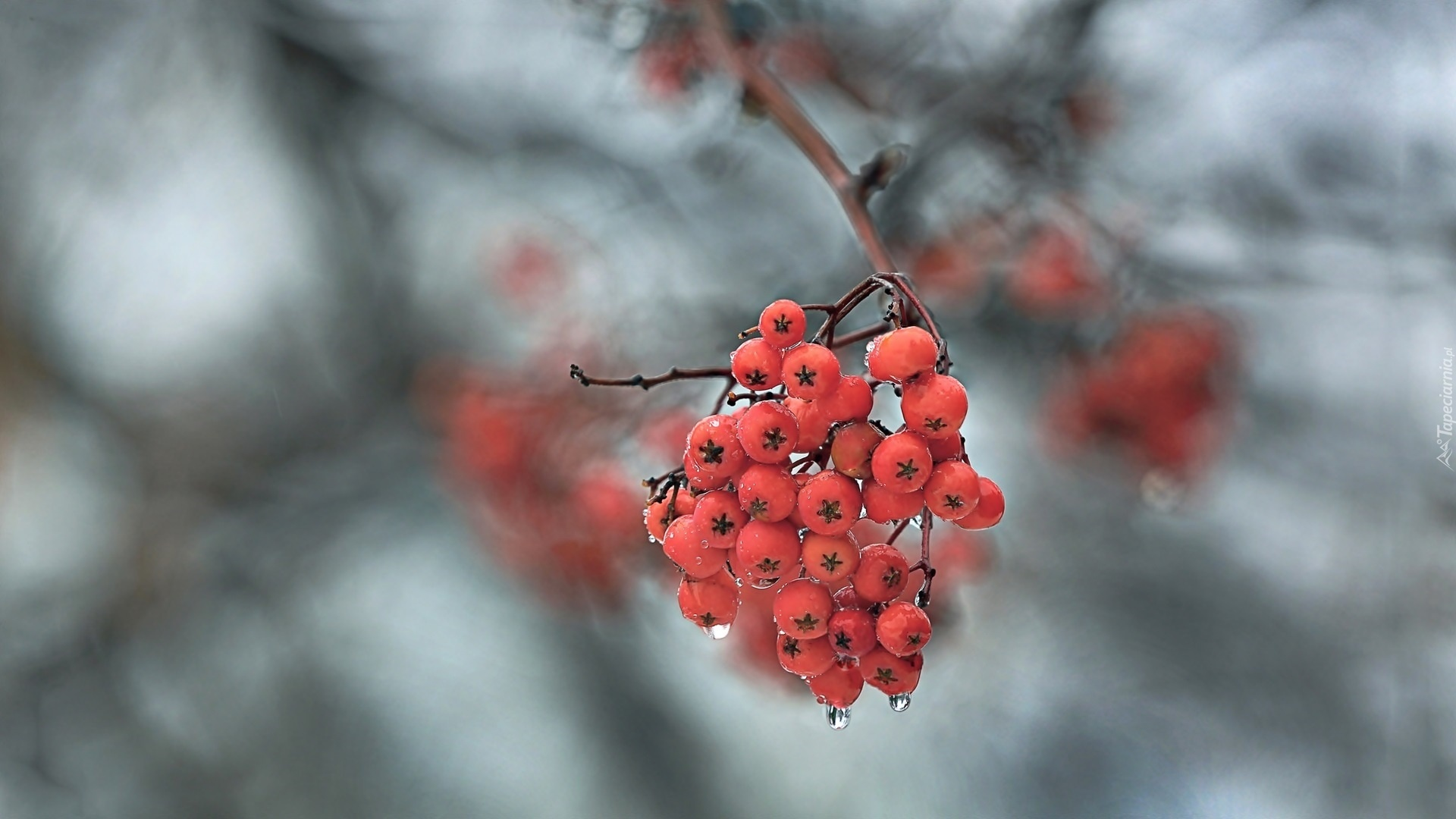 Berries On A Branch free wallpaper