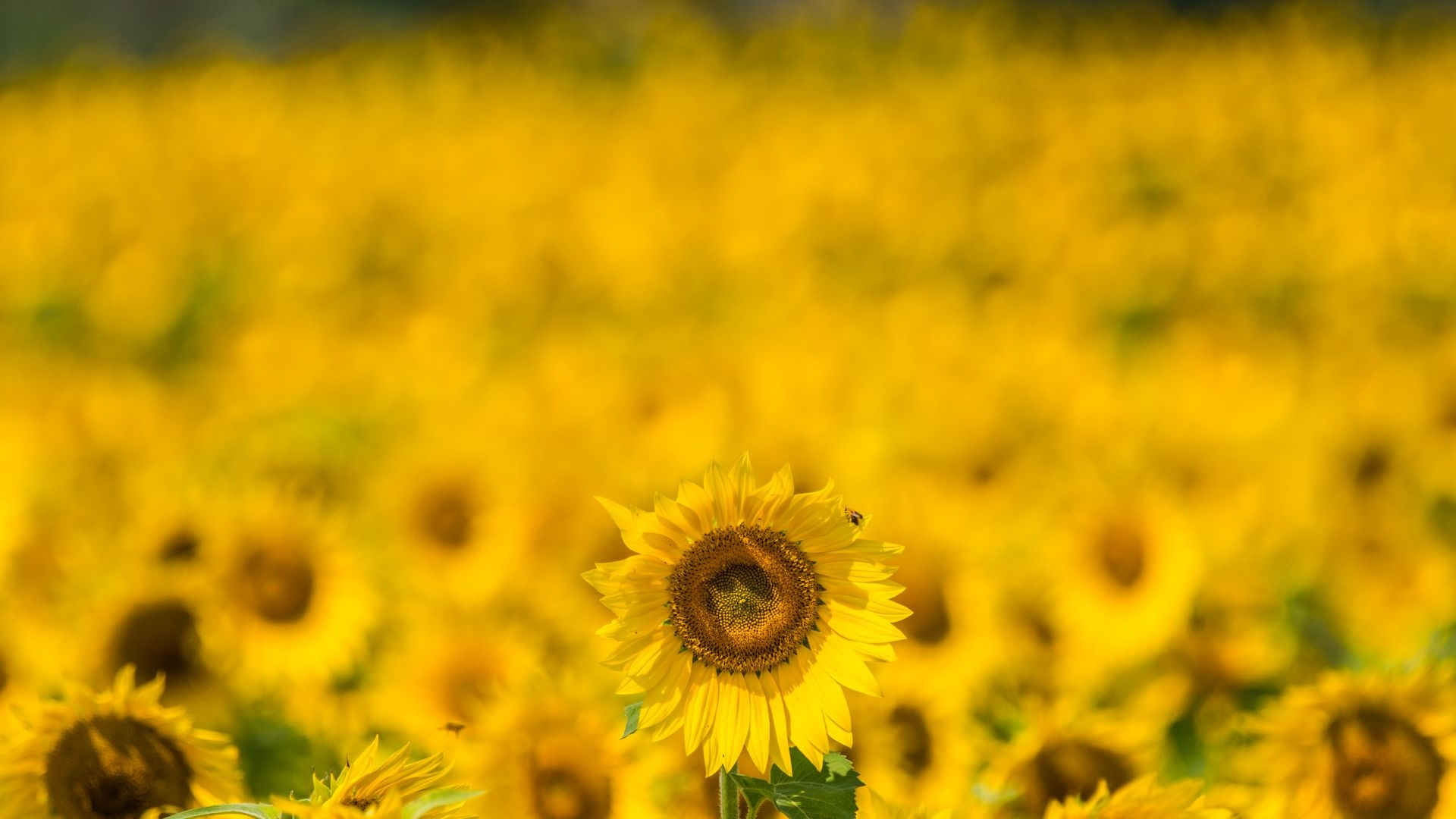 Sunflower wallpaper hd
