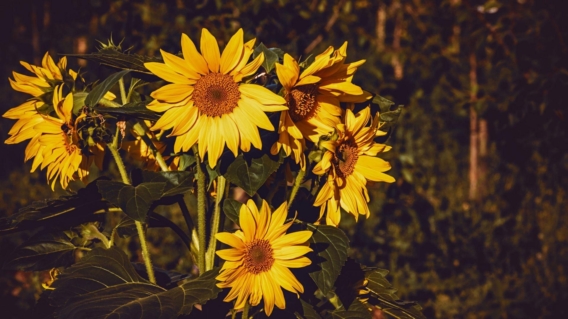 Sunflower windows background