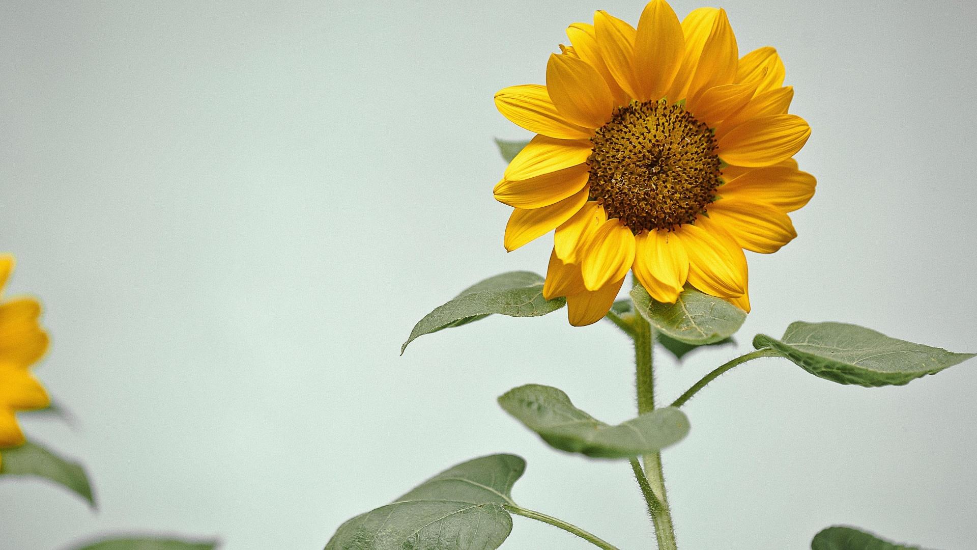 Sunflower free image