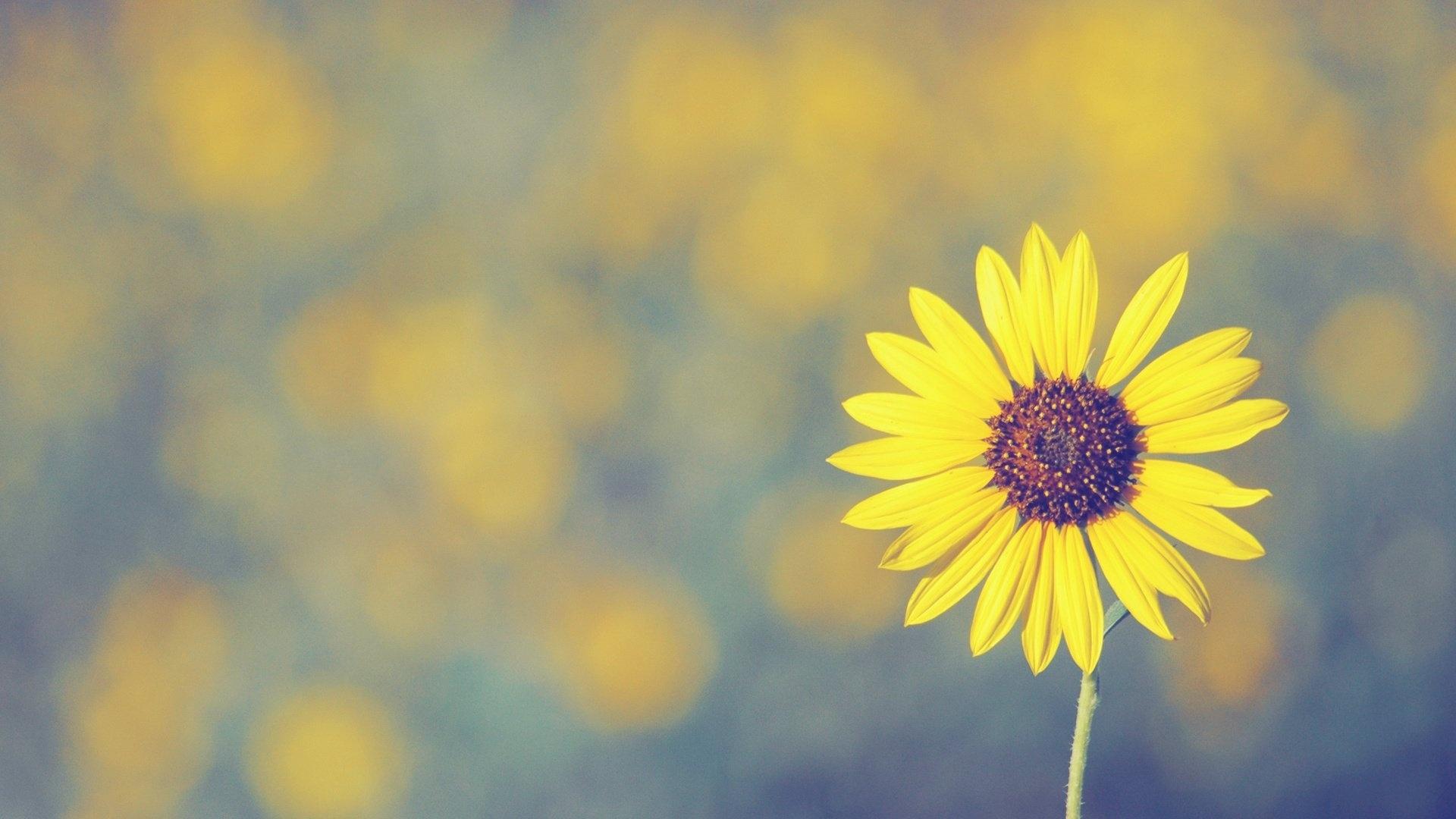 Sunflower best wallpaper