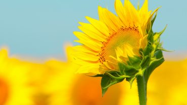 Sunflower free picture