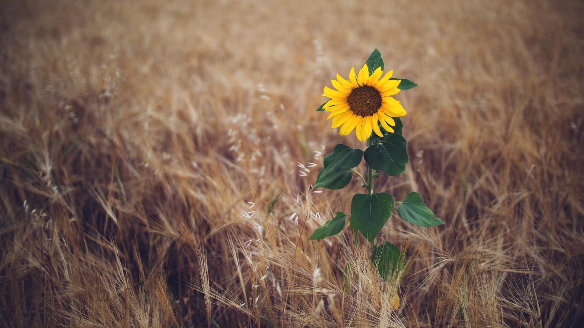 Sunflower 1920x1080 wallpaper