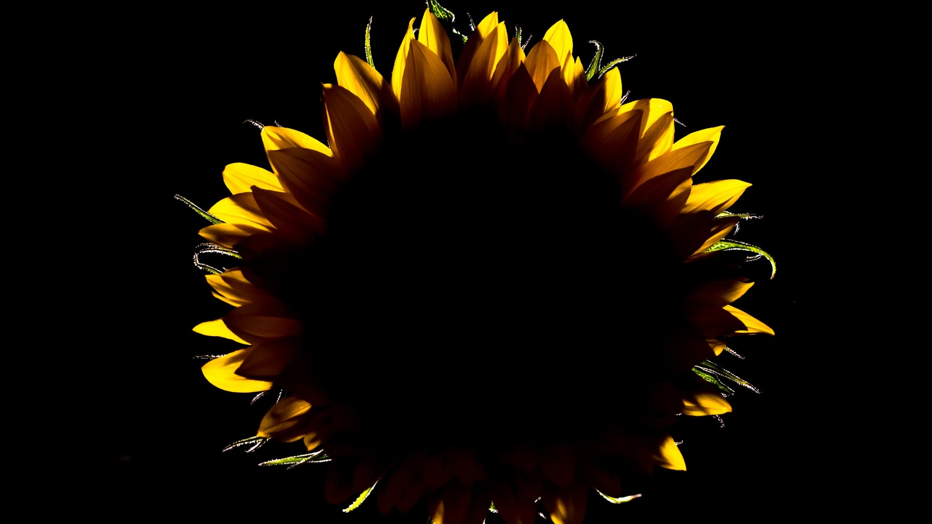 Sunflower free wallpaper